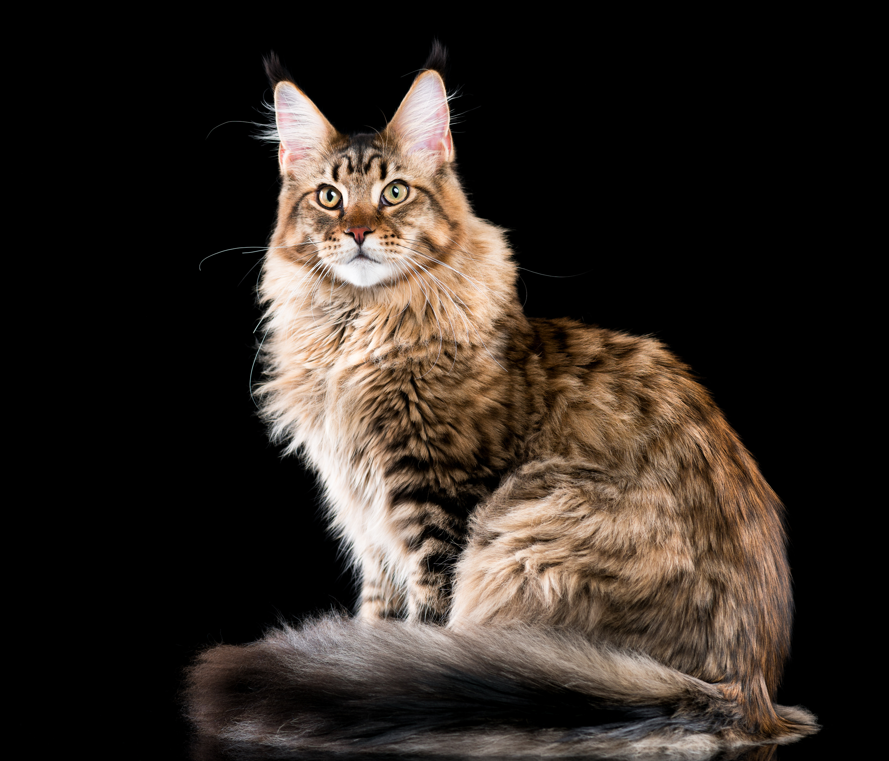 Maine Coon Katze Wesen Haltung Pflege Katzenrassen Zooplus At